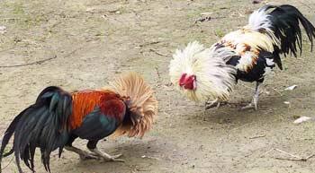 cockfightbig