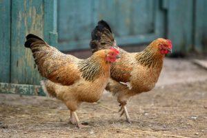 chickens-765x510